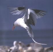 tropicbird.jpg